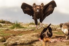 Asustando al milano (chuscordeiro) Tags: madrid espaa naturaleza bird animal fauna canon milano negro sigma ave 7d pluma prey vulture pajaro buitre comedero carroera 150600
