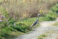 Graureiher / Grey Heron (b.kuehweidner) Tags: bird heron animal grey nikon feld sigma blumen reiher fischreiher graureiher 150500 d7200