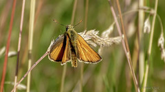 Rostfarbiger Dickkopffalter (Ochlodes venatus) (Oerliuschi) Tags: orange butterfly grser ochlodesvenatus fluginsekt tagfalter rostfarbigerdickkopffalter