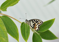 Demi-deuil JVA_0875 (mrjean.eu) Tags: sara sp atlas demi insectes attacus papillons heliconiinae deuil heliconius phaetusa dryatula