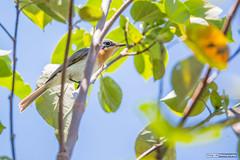 Leaden Flycatcher (basketballfreak6) Tags: nature birds sport canon wildlife sigma australia queensland flycatcher leaden 150600mm 5d3