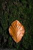Automne feuilles de hêtre (Dave Walsh Photography) Tags: wood autumn trees nature forest automne woodland belgium belgique foret bois wallonie copse beechleaf arbes automnefeuillesdehetre