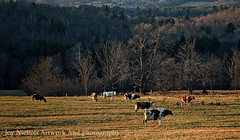 Winter Pasture (joyolsonnichols) Tags: december cows farm maine pasture dairy herd farmanimal nichols dairycows