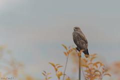 Poiana (megawattenergy) Tags: natura trento birdwatching trentino buteobuteo uccello volatile rapace accipitridae poiana girovagando