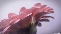 Zartes Ros (doreentine) Tags: flower licht rosa gerbera blume ros