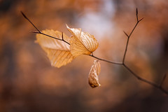 Lingering (Elizabeth_211) Tags: autumn tree fall leaves leaf bokeh tennessee foilage 135mm jacksontn westtn sherielizabeth