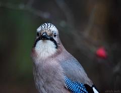 Eichelhher, Garrulus glanarius (Weinstckle) Tags: erithacusrubecula vogel rotkehlchen rabenvogel hher