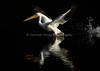 LakeChabot_123116_051 (kwongphotography) Tags: lakechabot castrovalley birds calif americanwhitepelican pelican wildlifephotography nature naturephotography wildlife birdsinflight unitedstates