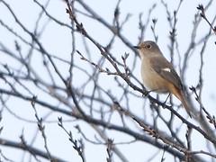 161211_GX7_1450920 (kuad9) Tags: bird