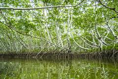 Mangrove Cathedral (aaronrhawkins) Tags: mangrove trees johnpennenkamp coralreefstatepark keylargo florida kayak canoe reflection cathedral nature serene peaceful leaves aaronhawkins vacation