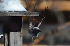 (Prairie_Wolf) Tags: woodpecker northernflicker flicker birding rachelmackayphotography calgary alberta canada