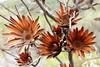 Hiding in the Fynbos (Michele's POV) Tags: protea survivalthroughfire deathofthemotherbush survivaloftheseeds burn fynbos heather wildfire phoenixrising sugarbushprotea seeds