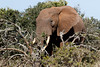 Side view of the Bush Elephant standing behind the branches (markdescande) Tags: grass dry safari big water running south masai animal loxodonta zimbabwe national herbivore huge african tanzania game bush africa environment five tourism landscape wild endangered large park ivory kenya bath savannah mammal mara nature conservation wildlife dust elephant savanna kruger travel forest reserve elephants animals generations trunk africana wilderness tusk