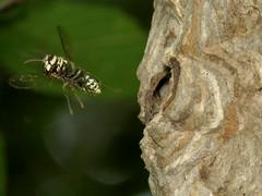 Bald-faced Hornet leaving nest (treegrow) Tags: washingtondc rockcreekpark lifeonearth nature canonpowershotsx40hs arthropoda insect dolichovespulamaculata taxonomy:binomial=dolichovespulamaculata hymenoptera vespidae