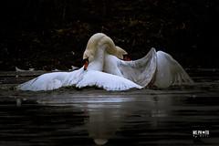 20170108-IMG_3128 (We Photo M. Timmers) Tags: oostvaardersplassen vogelhut natuur natuurfotografie paarden vogels watervogels zwanen