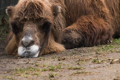 Bactrian Camel 09 (cypher40k Photography) Tags: bactriancamel camel color colour nikon toronto torontozoo twohumps zoo
