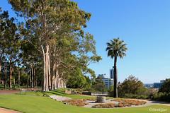 Avenue of Eucalypts line the entrance to Kings Park (derekngill) Tags: kingspark trees perthcity