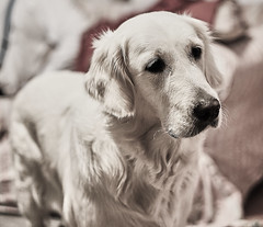 hungry lola face (Rry_) Tags: goldenretriever sony a7 dog hungry gimme
