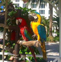 MATES FOREVER (carolynthepilot) Tags: michael mike miami adventure amazing carolynbistline carolynthepilot carolynsuebistline carolyn bistline bbc bbcsponsored goldenwings gulfofmexico flickrmindset flickrhivemindnet florida fl travel trip vacationgetaway carolynsworld vacationdestination vacation holiday honeymoondestination honeymoon getaway silkstockings worldtraveler weather photoshoot photographer nationalgeographic nationalgeo nature natural nationalgeographicexplorer frommer beautiful interesting southbeach wynwood bucketlist beachtime southern soul holidaytime art postcard birds bird perch parrots audobun birdie flying animals colorful creatures mates couples two palms gardens