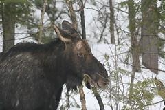 Moose (Peter Simpson) Tags: moose algonquin park ontario canon f4
