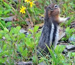 DSC_0677 (rachidH) Tags: squirrel écureuil rodents goldenmantledgroundsquirrel spermophiluslateralis callospermophiluslateralis spermophileàmanteaudoré écureuilterrestreàmanteaudoré spermophileàmanterayée logan pass loganpass westglaciernationalpark montana rockymountains mt rachidh nature
