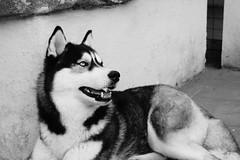 Maya (marcoleo6) Tags: husky siberianhusky maya siberian huskies dog mushing animale cane esquimese domestico persone mammifero animal pet black white blackandwhite show dogshow sled sleddog happy