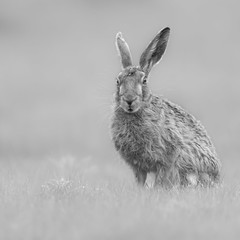 European/Brown Hare (Lepus europaeus), (dave.mcculley) Tags: europeanhare brownhare eyes ears fur dof lowpov nature wildlife outdoors rutlandwater