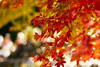 Warm Autumn Day (JapanDave) Tags: vsco autumn japandave autumnleaves momiji bokeh red acerpalmatum fall japanesemaple laspina nature 秋 紅葉 赤 okazakishi aichiken japan jp