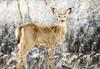 My Deer Friend (floralgal) Tags: doe deer animal marshlandsconservancy ryenewyork nature woodlands