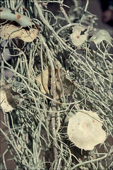 Usnea-filipendula_11 (amadej2008) Tags: taxonomy:binomial=usneafilipendula usneadasypoga usneaflagellata fishbonebeardlichen gewöhnlicherbaubart bartflechte lasastibradovec usneafilipendula usnea dasypoga flagellata beardlichen baubart bradovec bradovci filipendula