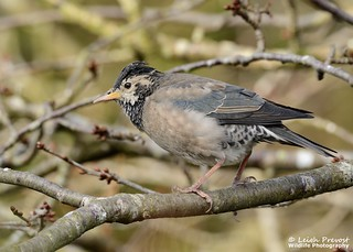 Rose coloured Starling, Pastor roseus
