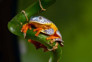 Fringe Tree Frog, CaptiveLight, Bournemouth, Dorset, UK