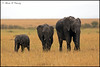 Three Generations! (MAC's Wild Pixels) Tags: threegenerations elephant elephantfamily loxodonta endangered endangeredspecies tusks feeding wildafrica africanwildlife wildanimal wildlife maasaimaragamereserve kenya macswildpixels ivory mammal outdoors biggestmammal naturethroughthelens ngc