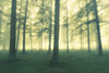 Bosque (Mimadeo) Tags: forest vintage retro fog trees tree foggy misty mist nature landscape morning trunk light sunlight sunny mystery mysterious filter effect
