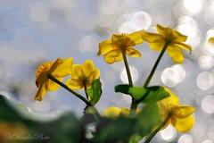 Kingcup - Caltha palustris (Horst Beutler) Tags: calthapalustris kingcup marshmarigold sumpfdotterblume spring flower lensflares bokeh pentax carlzeissjenaddrelectricmcsonnar135mmf35 manuallens m42mount copyrighthorstbeutlerphotography k5iis