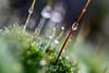 DSC_9324 (xav_roberts) Tags: macro closeup dew nikonv1 nikonft1 nikon sigma105mmf28mm water droplets morningdew rain raindrops