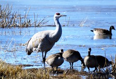 Getting Along With the Neighbors (Patricia Henschen) Tags: sanluisvalley goose geese cackling canada sandhillcrane sandhillcranes cranes migration winter colorado montevistanationalwildliferefuge montevista