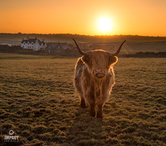Katag the Highland Cow (Impact Imagz) Tags: highlandcattle highlanders highlandcow sunset cloudsstormssunsetssunrises gresslodge isleoflewis outerhebrides westernisles scotland cattle ngc