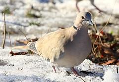 Eurasian collared dove in Elma IA 854A6064 (lreis_naturalist) Tags: eurasian collared dove elma howard county iowa larry reis details