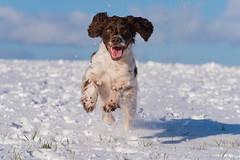 HLL_7196.jpg (Helle Lindholm Larsen) Tags: zigzag ftcockerspaniel winter dog snow