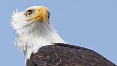 Bald Eagle (photosauraus rex) Tags: bird outdoor baldeagle eagle vancouver bc canada haliaeetusleucocephalus birdofprey raptor