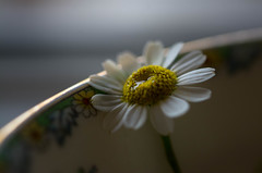 Forlorn (Captured Heart) Tags: forlorn flower chamomile singleflower tears crying longing lonely simple