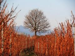 Comme un air de printemps (blogspfastatt (+4.000.000 views)) Tags: blogspfastatt pfastatt alsace eguisheim vignoble vineyard tree spring primavera frühling 春 весна wiosna bahar lente musimsemi ربيع