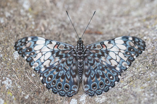 Butterfly Hamadryas fornax