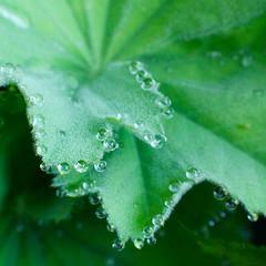 IMG_3106 (Elsa Blaine) Tags: macro garden dewdrops waterdrop dew droplet ladysmantle macrofilter
