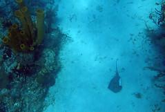 Southern stingray (Dasyatis americana) & yellow tube sponge (Aplysina fistularis), Aquarium Reef, Half Moon Caye (Niall Corbet) Tags: sea coral stingray belize tropical reef halfmooncaye southernstingray dasyatisamericana aquariumreef