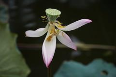 DSC04370 (rickytanghkg) Tags: plant flower hongkong pond waterlily lotus sony a7r sonya7r