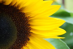 """Keep your face to the sunshine and you cannot see the shadows. It's what the sunflowers do."" Helen Keller (katerha) Tags: sunflower"
