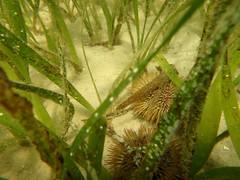 Urchins 2 (Pnerissa) Tags: underwater florida coastal urchin echinoderm portstjoe echinoidea fmnp saintjosephpeninsulastatepark floridamasternaturalistprogram saintjosephbay