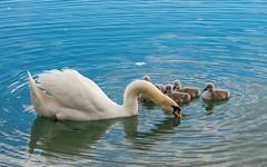 swan's family (09) (Vlado Ferenčić) Tags: bird birds animals swan lakes croatia swans nikkor8020028 nikond600 zaprešić swansfamily zajarki lakezajarki